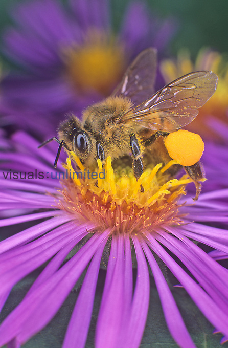 Honey Bee on a flower with pollen grains on its body and a large pollen basket on its hind leg (Apis mellifera)....