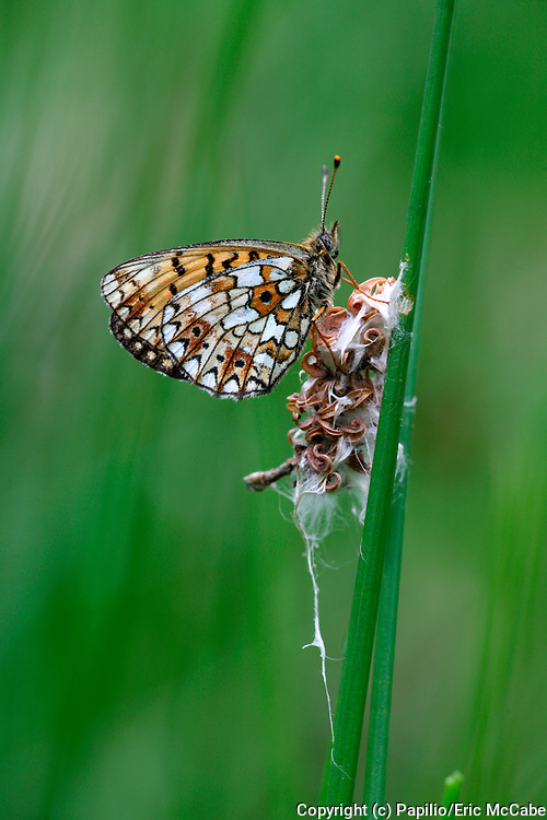 Small Pearl-bordered Fritillary, Clossiana selene at rest in sedges by Perthshire pond<br /> nature<br /> wildlife<br /> british<br /> britain<br /> Scotland<br /> insect<br /> lepidoptera<br /> butterfly<br /> fritillary<br /> Clossiana selene<br /> Clossiana<br /> UK