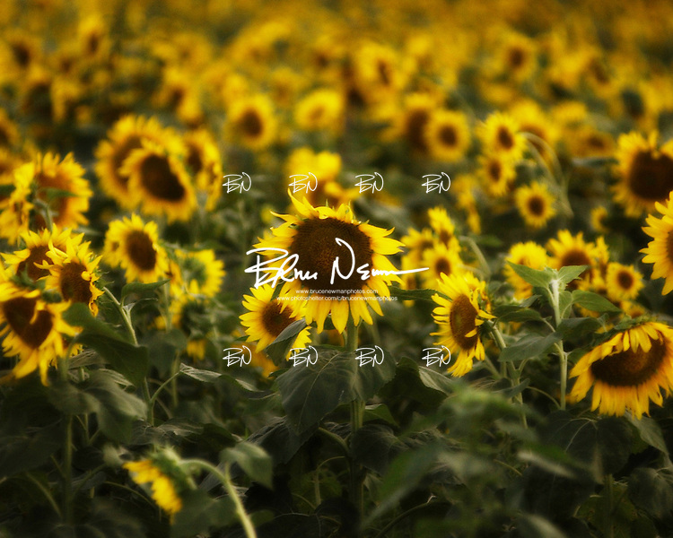 Sunflower field near Clarksdale, Miss. on July 13, 2001.