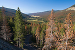 dying conifer forest, predominantly lodgepole pine, mountain pine beetle infestation, above Kawuneeche Valley, Rocky Mountain National Park, Colorado, USA, Rocky Mountains
