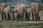 An African elephant herd approaches a watercourse in Kenya's Amboseli National Park, Every morning this same herd routinely emerges from the forests to drink and then bathe in the water.