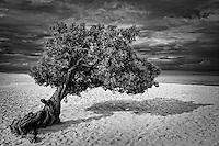 Divi-divi tree on the beach in Aruba.