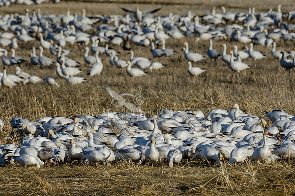 Snow Geese (Chen caerulescens) feeding, Lower Klamath NWR, Oregon/California.  Feb-March.
