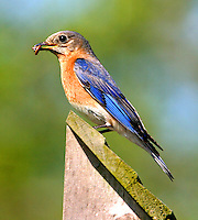 Adult female eastern bluebird on nest box with worm for the babies