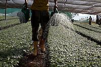 Patrocinio_MG, Brasil.<br /> <br /> Viveiro de mudas de cafe em patrocinio. <br /> <br /> The nursery seedlings of coffee in Patrocinio.<br /> <br /> Foto: LEO DRUMOND / NITRO