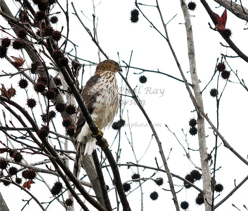 Cooper's Hawk juvenile in Sweetgum tree