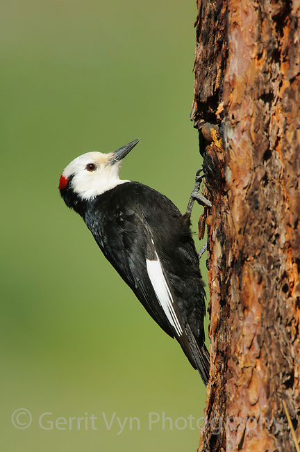 Adult male White-headed Woodpecker (Picoides albolarvatus). Yakima County, Washington. May.