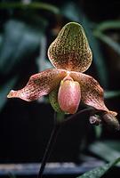 Paphiopedilum Tinicum, orchid primary hybrid of glaucophyllum x concolor, 1971