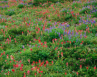 ORCAN_011 - USA, Oregon, Mount Hood National Forest, Mount Hood Wilderness, Paintbrush, lupine and heather display summer bloom in subalpine meadow.