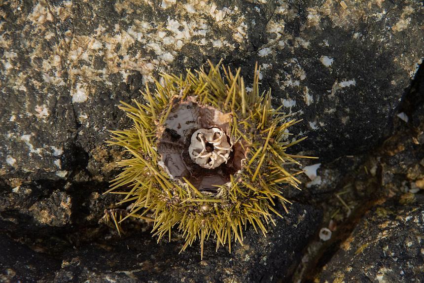 Sea Urchin Shells, Egmont, Sunshine Coast, British Columbia, Canada