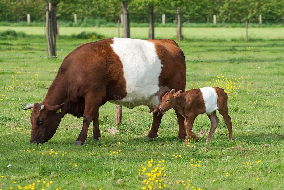 Lakenvelder koe (Bos domesticus)