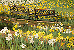 Two benches, McLaughlin's Daffodil Hill in bloom, Volcano, Calif.
