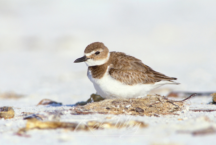 Wilson's Plover Nesting, Ft. Myers Beach, Florida, USA