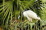 Australian Ibis (Threskiornis moluccus) in palm tree, Royal Botanic Gardens, Sydney, New South Wales, Australia