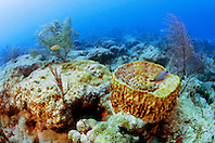 giant barrel sponge, Xestospongia .muta, and gorgonians, .Captain Keith's Reef, Key Biscayne, .Miami, Florida (Atlantic).