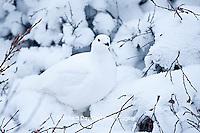 00839-00506 Willow Ptarmigan (Lagopus lagopus) in winter, Churchill Wildlife Management Area, Churchill, MB Canada