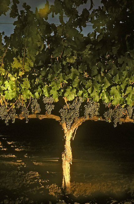 St. Helena vineyard shows cabernet grapes hanging on vines.  As grapes ripen, and depending on the direction of the sun, leaves are cut back to allow more sun exposure.