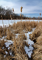 A cattail marsh has snow and ice remnants scattered in the reed in a backwater area off of the Kankakee River, DesPlianes Fish & Wildlife Area, Will County, Illinois