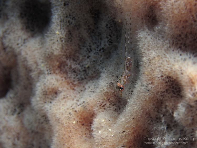 Kenting, Taiwan -- Well-camouflaged unidentified triplefin or goby inside a sponge.