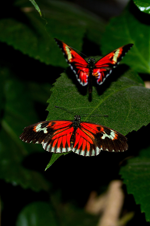 Two Postman, one full dorsal and the other in flight, around dark green leaves, their bright red markings standing out against the dark green and black background.