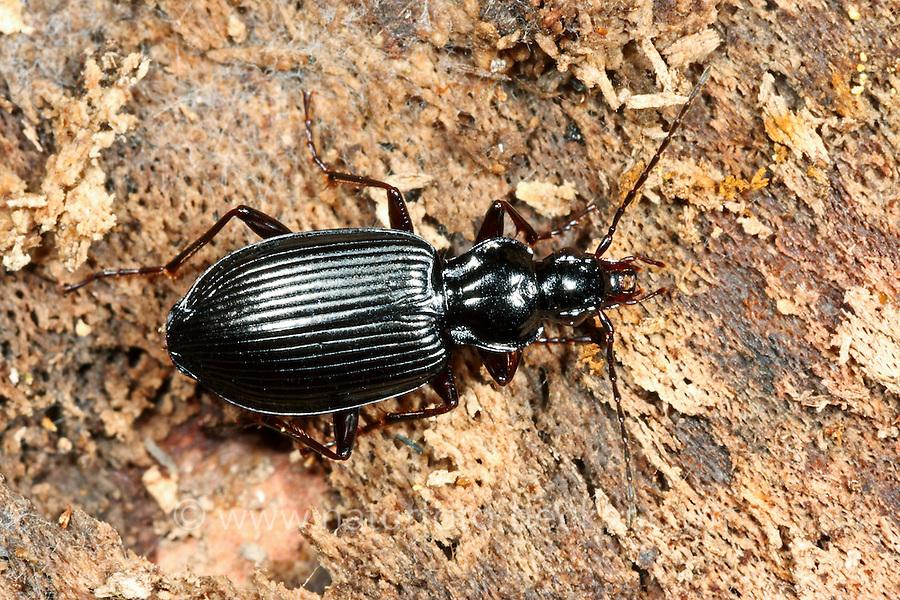 Schwarzer Putzläufer, Schwarzer Enghalskäfer, Herzschildkäfer, Ähnlicher Putzläufer, Limodromus assimilis, Platynus assimilis, ground beetle
