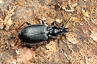 Schwarzer Putzläufer, Schwarzer Enghalskäfer, Herzschildkäfer, Ähnlicher Putzläufer, Limodromus assimilis, Platynus assimilis, ground beetle