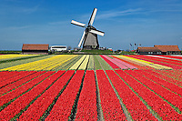 Flower field of tulips and windmill, Netherlands, Holland