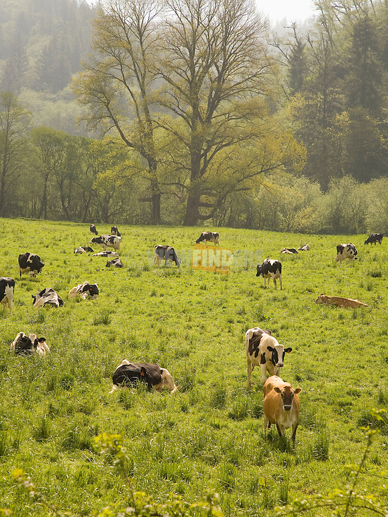 Field of Cows Grazing
