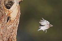 Mountain Bluebird (Sialia currucoides), fledgling leaving nesting cavity, Rocky Mountain National Park, Colorado, USA