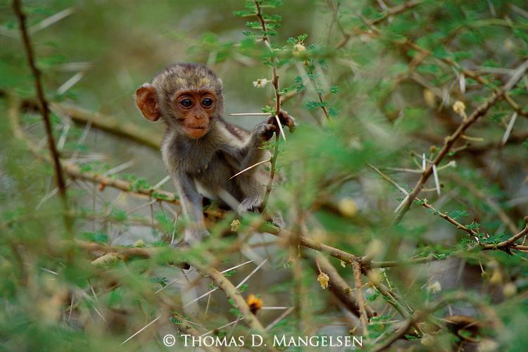 A vervet monkey perches in the thorny branches of an acacia tree at Lake Manyara in Tanzania.