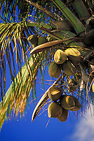 coconuts hanging from palm tree w blue sky. Saint Thomas Virgin Islands United States Virgin Islands caribbean.