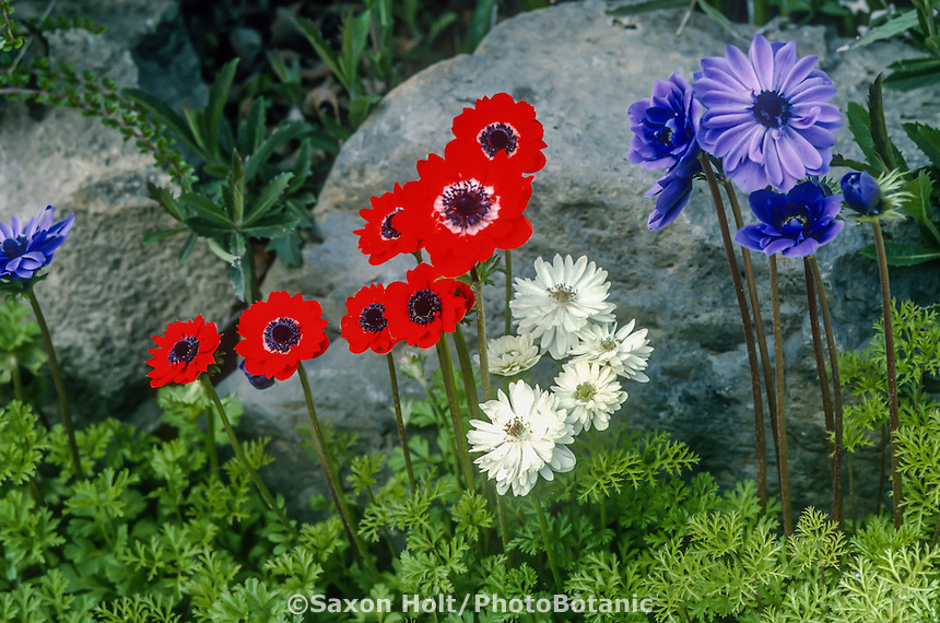 Anemone coronaria (Windflower) red, white and blue flowers