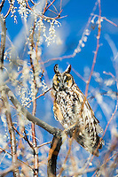 Long Eared Owl, Idaho