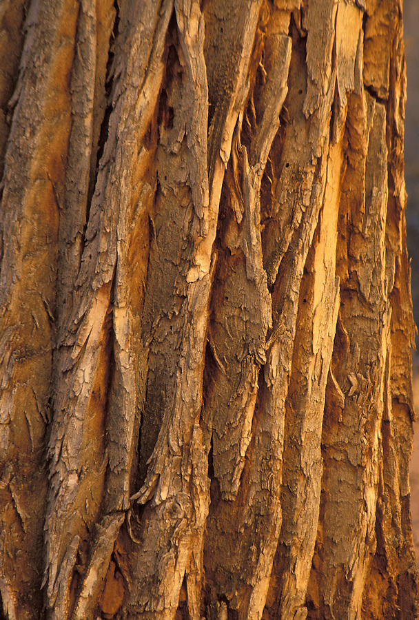 Cottonwood bark. Horseshoe Canyon, Maze District, Canyonlands National Park