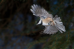 Black-capped Chickadee in Flight, Parus atricapillus, Canada, high speed photographic technique, flying