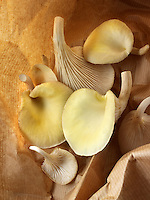 Fresh picked edible yellow or golden pyster mushrooms (Pleurotus citrinopileatus)