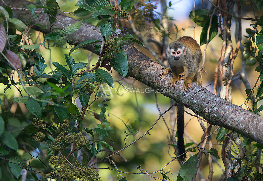The squirrel monkey is the smallest (and cutest) of Costa Rica's four monkey species.