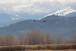 Canada geese flying over Kootenai National Wildlife Refuge during spring migration with snow on the Selkirk Mountains