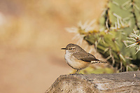 Rock Wren (Salpinctes obsoletus),adult, Bosque del Apache National Wildlife Refuge , New Mexico, USA