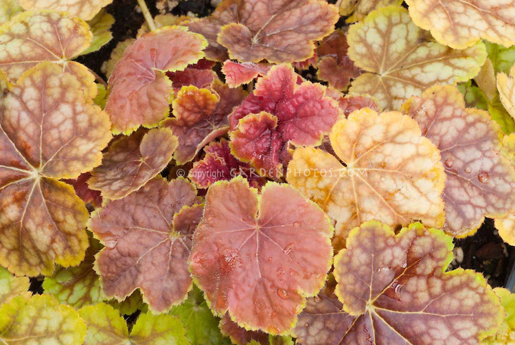 Heuchera Tiramisu foliage perennial plant with leaves in amber shades of gold, yellow, orange, bronze, red