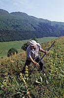 Europe/France/Auvergne/15/Cantal/Parc Régional des Volcans/Massif du Puy Mary (1787 mètres): Fan-Fan arracheur de racines de racines  de  gentiane qui serviront à fabriquer l'apéritif [Non destiné à un usage publicitaire - Not intended for an advertising use] [Non destiné à un usage publicitaire - Not intended for an advertising use]<br /> PHOTO D'ARCHIVES // ARCHIVAL IMAGES<br /> FRANCE 1980