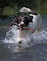 05/06/15<br /> <br /> As the summer weather continues to heat-up, seven-month-old, springer spaniel, Chester, plays fetch with a stick in Bradbourne Brook, Tissington, near Ashbourne, in the Derbyshire Peak District.<br /> <br /> All Rights Reserved: F Stop Press Ltd. +44(0)1335 418629   www.fstoppress.com.