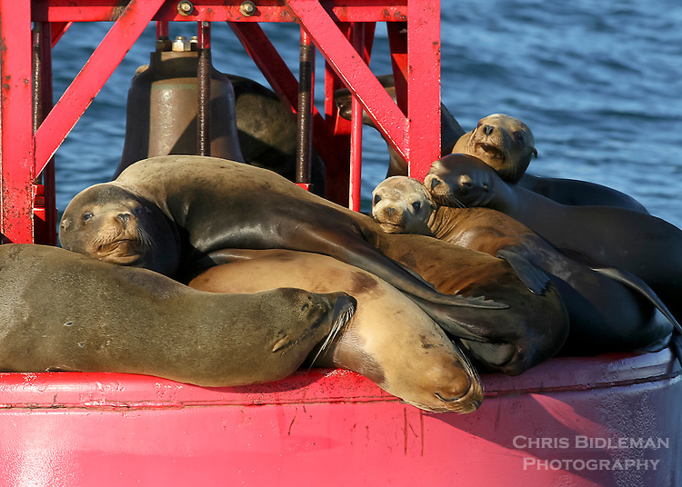 Group of sea lions sleeping on a buoy in the sun in Monterey Bay, California