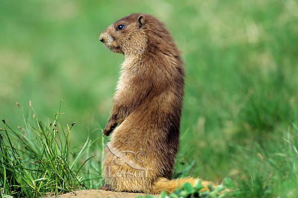 Olympic Marmot (Marmota olympus).  Olympic National Park, WA.  Summer.
