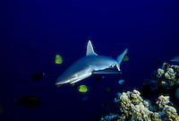 GRAY REEF SHARK Carcharhinus amblyrhynchos  HAWAII.