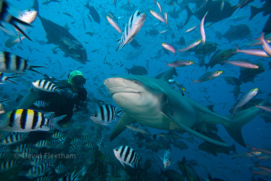 Diver (MR) feeding a bull shark, Carcharhinus leucas.  This species is known for it's ability to survive in fresh water where it gives birth to it's young. Bequ Lagoon, Fiji.