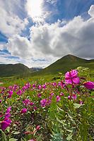 Dwarf fireweed, Hatcher Pass, Alaska.