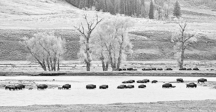 A herd of bison crosses the Lamar River.  This image is also available in color.