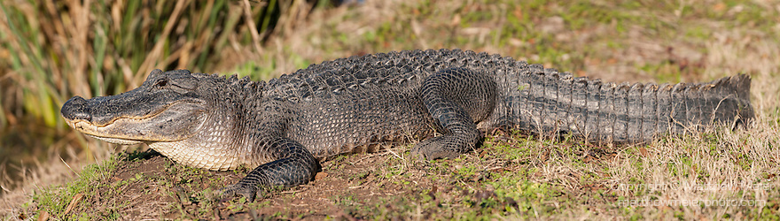 Columbia Ranch, Brazoria County, Damon, Texas; a panoramic composite of an American Alligator (Alligator mississippiensis) sunning itself on the bank