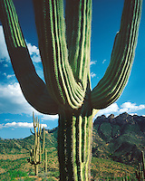 Evening light on Saguaro cacti in the Supertstition Mountains; Tonto National Forest, AZ